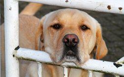 Furminator Labrador short or long hair