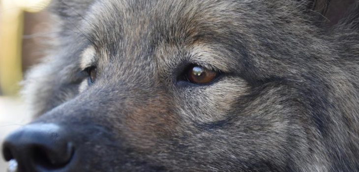 Is Cherry Eye Painful?