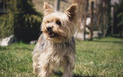 Yorkie Dry Skin Home Remedies