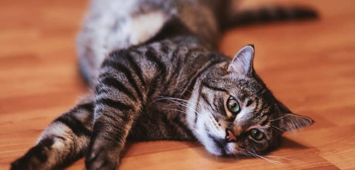 do female cats spray when in heat