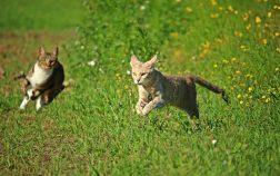 How Fast Can A Cat Run