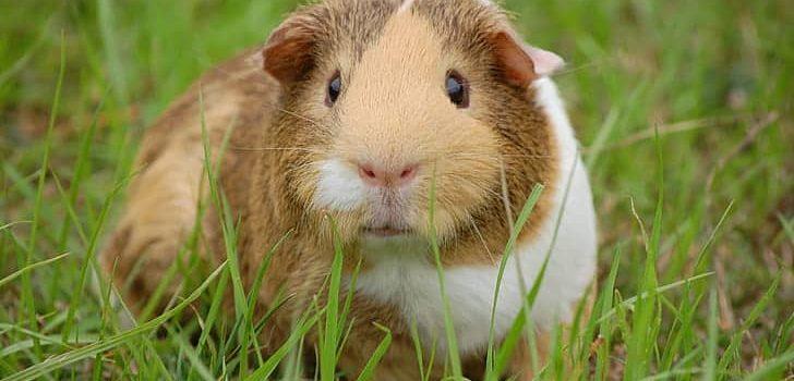 Can Guinea Pigs Eat Cucumber