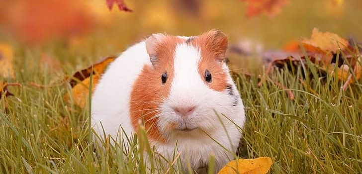 Can Guinea Pigs Eat Bell Peppers