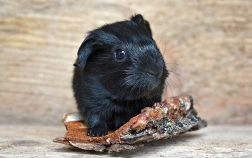 Can Guinea Pigs Eat Blackberries