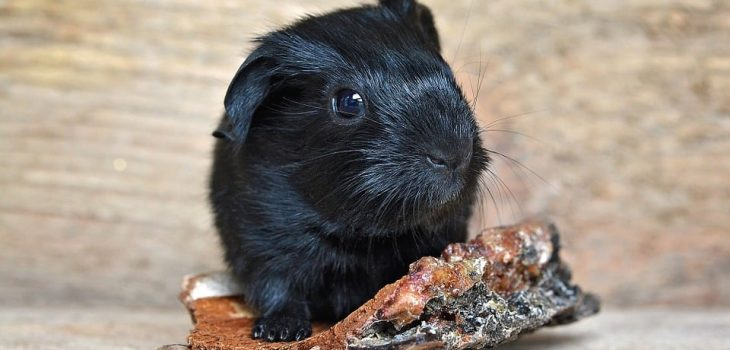 Can Guinea Pigs Eat Blackberries