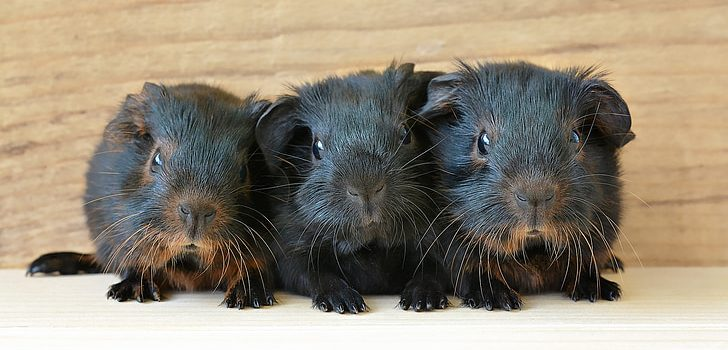 Can Guinea Pigs Eat Orange Peels