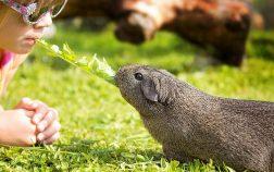 Can Guinea Pigs Eat Basil