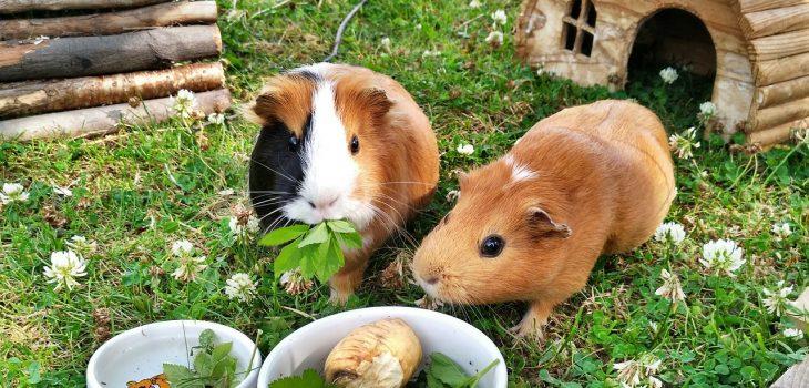 Can guinea pigs eat banana peels
