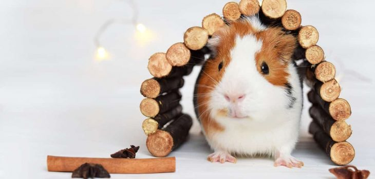 Can Guinea Pigs Eat Eggplant