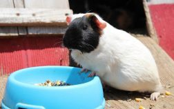 Can Guinea Pigs Drink Water Out Of A Bowl