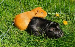 Can Guinea Pigs Eat Snap Peas