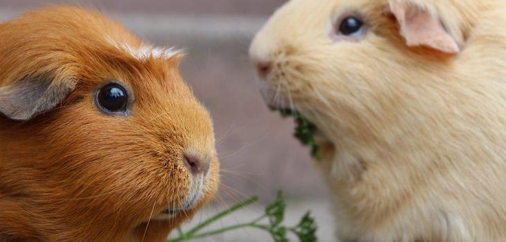 Can Guinea Pigs Eat Collard Green