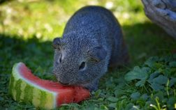 Can Guinea Pigs Eat Watermelon Rind