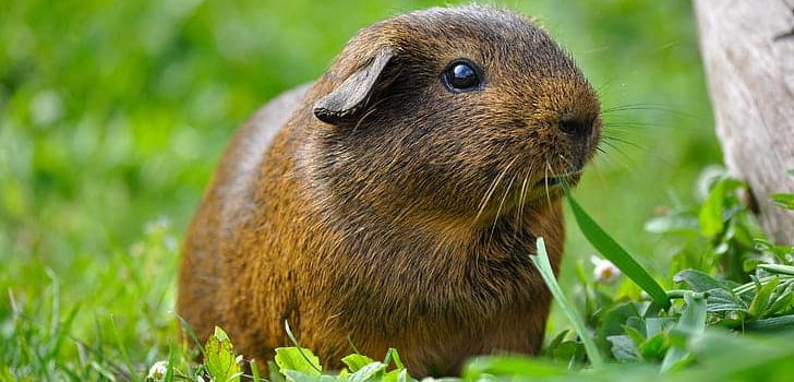Can Guinea Pigs Eat Dill
