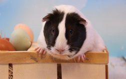 Can Guinea Pigs Eat Cardboard