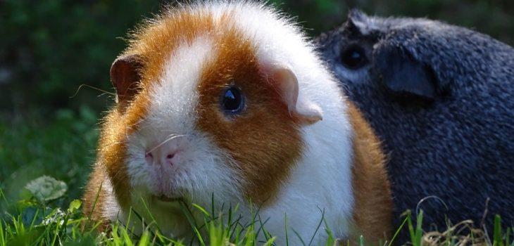 can guinea pigs eat butternut squash