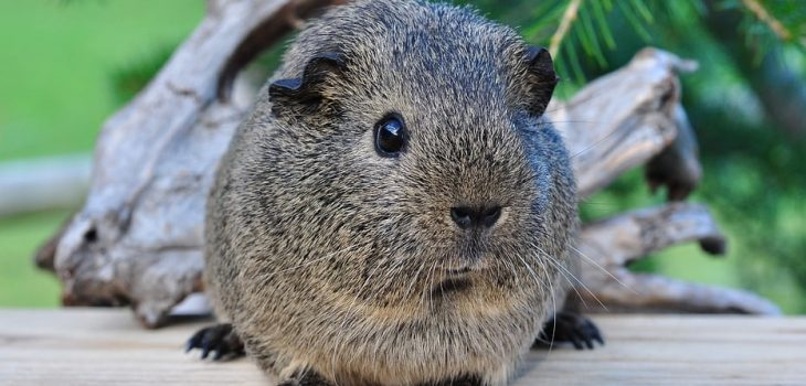 can guinea pigs eat mustard greens