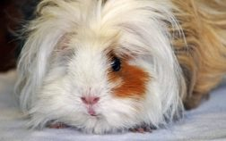 Can Guinea Pigs Eat Radishes