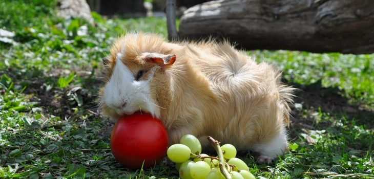 can guinea pigs eat nectarines