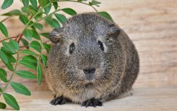 Can Guinea Pigs Eat Rosemary