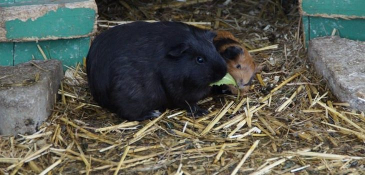 Can Guinea Pigs Eat Sage