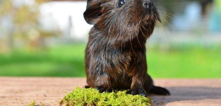 Can Guinea Pigs Eat Cauliflower