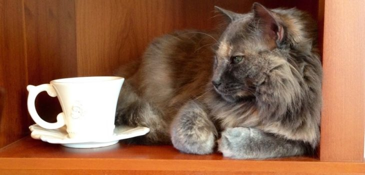 Can Cats Drink Tea? What You Need to Know