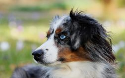 Do Australian Shepherds Shed? Grooming Guide