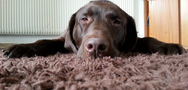 How To Clean Up Dog Vomit from Carpet & Hardwood