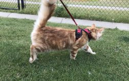 How To Leash Train A Kitten for Outdoor Walks
