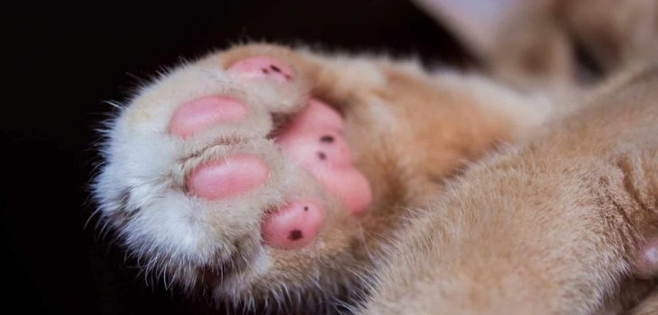 When Can A Kitten Be Declawed