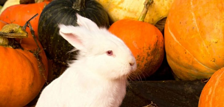 Can Rabbits Eat Pumpkin? 6 Easy Steps To Feed Them - PetCosset