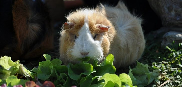 Can Guinea Pigs Eat Parsley