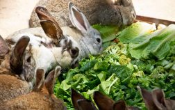 Can Rabbits Eat Arugula