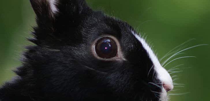 Can rabbits eat avocado