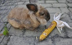 Can Rabbits Eat Corn Husks