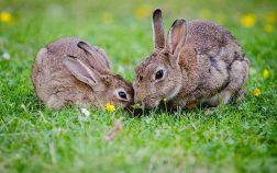 Do Rabbits Eat Tulips