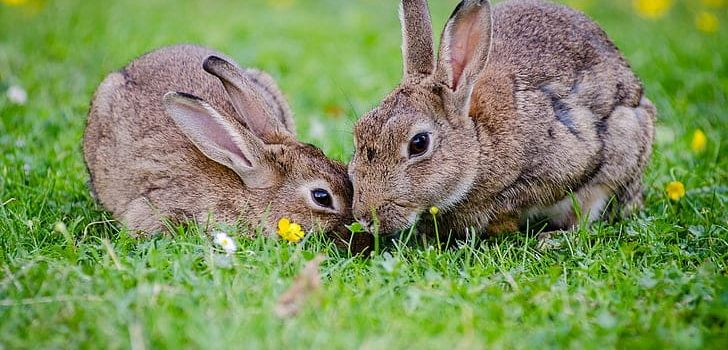 Do Rabbits Eat Tulips