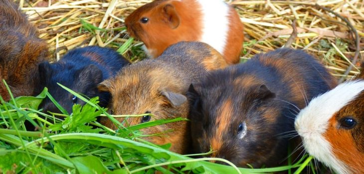 Can guinea pigs eat thyme