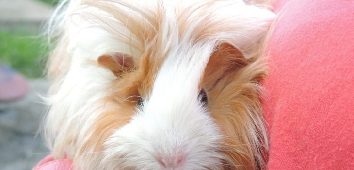 What Is The Coldest Temperature A Guinea Pig Can Live In