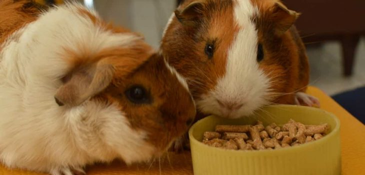 Can Guinea Pigs Eat Cereal