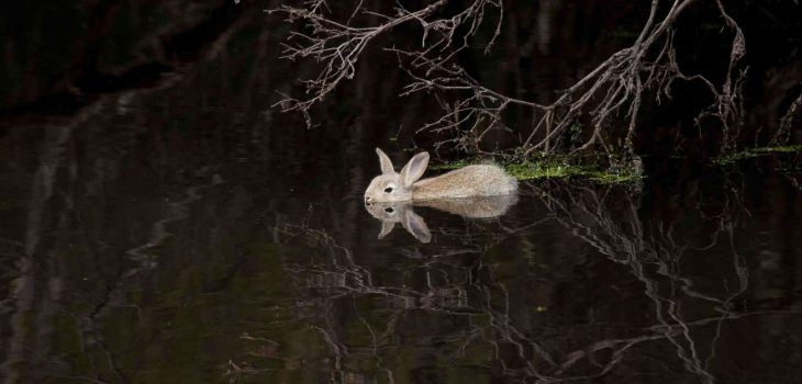Can rabbits swim