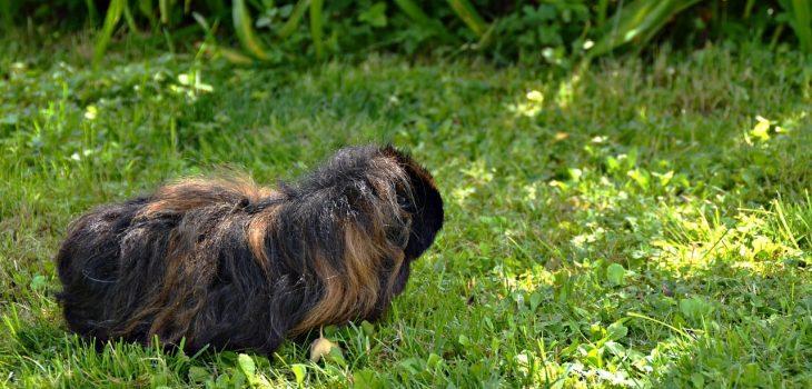Can Guinea Pigs Eat Kiwi Skin