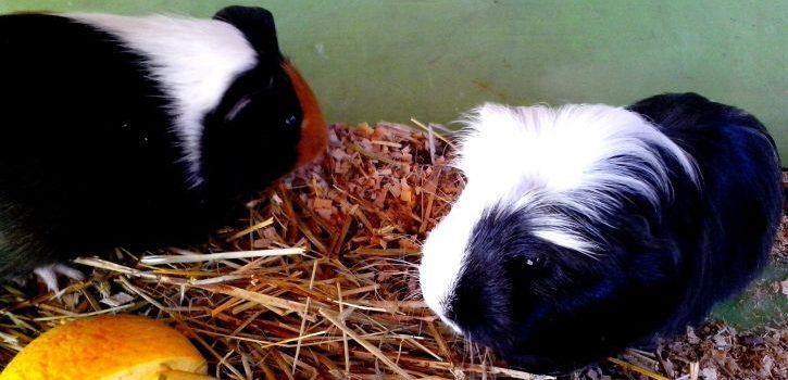 Can Guinea Pigs Eat Raw Pumpkin