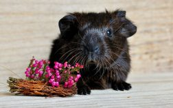 What Flowers Can Guinea Pigs Eat