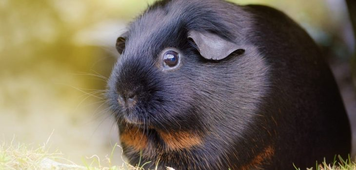 Can Guinea Pigs Eat Brussels Sprout Leaves