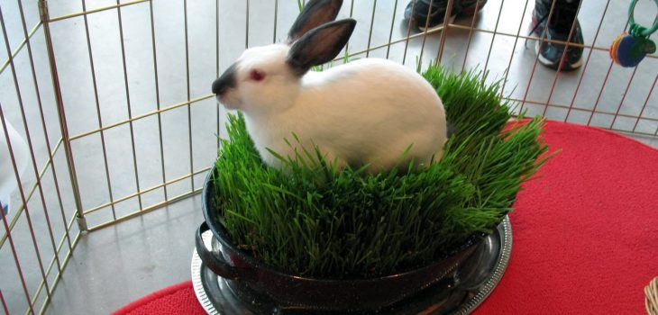 Can Rabbits Eat Chives