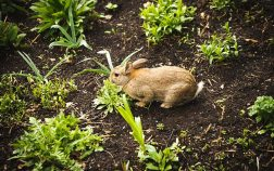 Can rabbits eat catnip