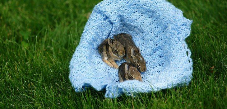 baby rabbits screaming