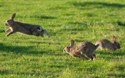 Why Do Rabbits Hop